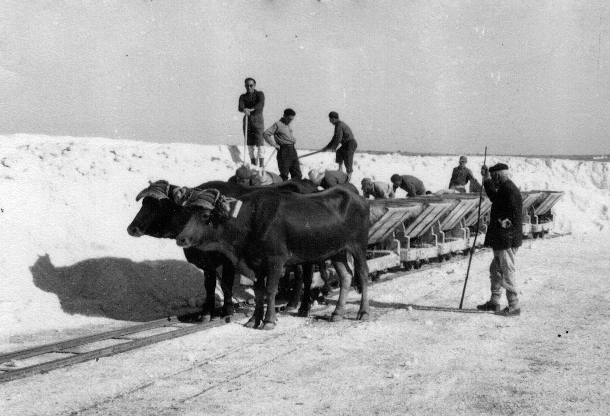 Bueyes arrastrando vagonetas de sal